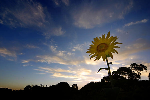 Sunflower at dawn